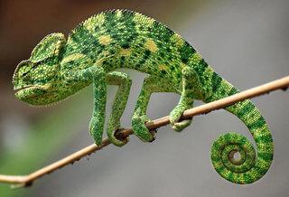 camaleon de la india