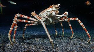 cangrejo araña japones