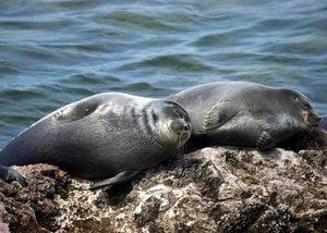 focas de agua dulce