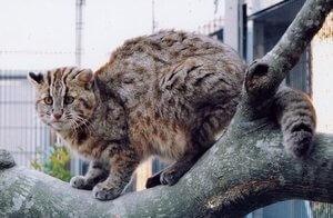 gato leopardo tsushima salvaje