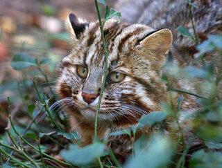 gato montes extremo oriente ruso