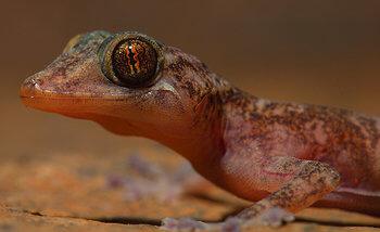 gecko dorado de la india