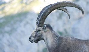 ibice cabra alpes
