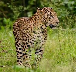 leopardo indio