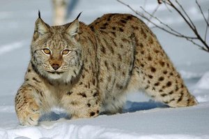 lince rusia
