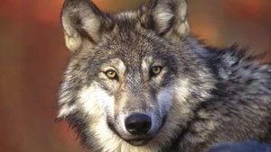 lobo comun italia