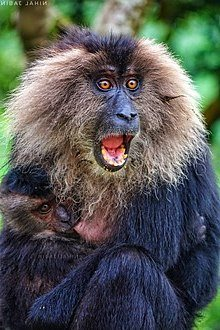 macaco cola leon