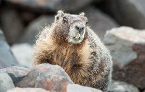 marmota en canada