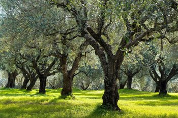 olivos toscana flora italia