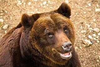 oso pardo apeninos