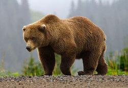 oso pardo canada