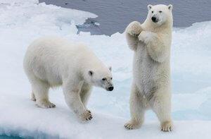 oso polar rusia