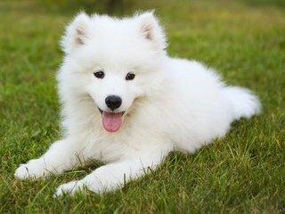 perro samoyedo