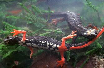 salamandra de anteojos