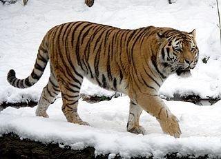 tigre amur siberiano