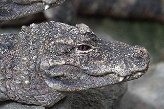 aligator chino fauna