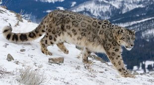 leopardo nieves china