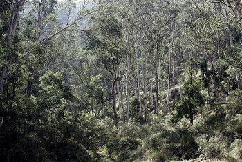bosque eucalipto victoria australia