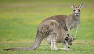 canguro fauna australia