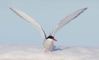 charran artico fauna polo norte