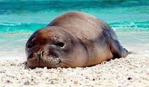 foca monje de hawai