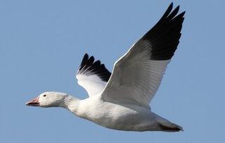 ganso blanco