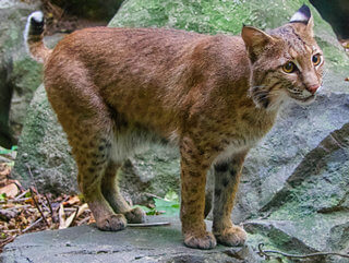 gato montes lince rojo