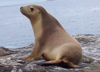 leon marino australiano