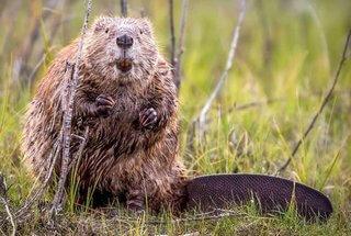 marmota estados unidos
