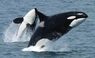 orca artico