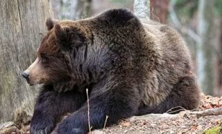 oso gris grizzly