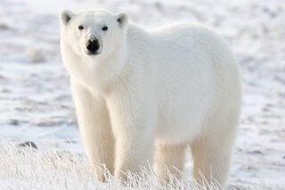 oso polar artico