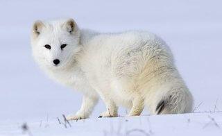zorro artico polo norte