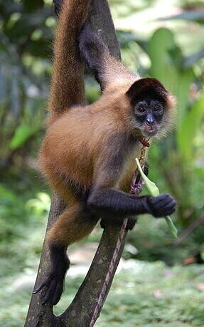 mono araña centroamericano