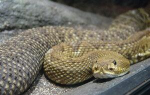 serpiente de cascabel mexico