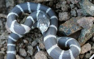 serpiente real comun