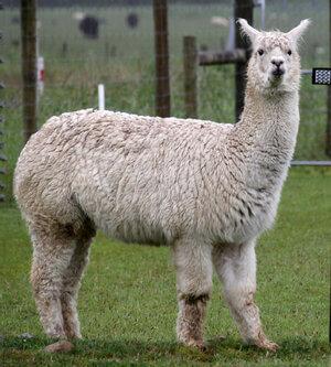 alpaca animal tipico de bolivia