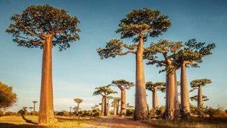 baobab arbol madagascar