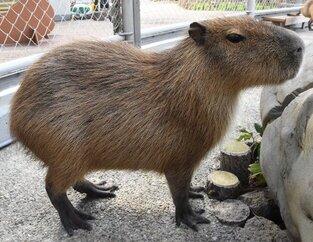 capibara carpincho