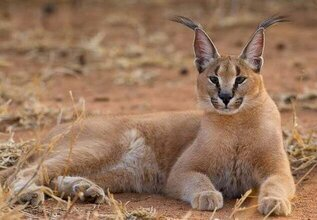 caracal lince africano
