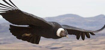 condor andino andes