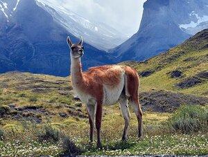 guanaco camelido