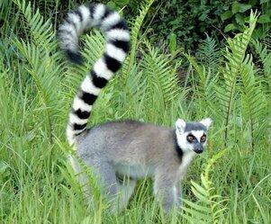 lemur fauna madagascar
