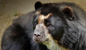 oso de anteojos andino