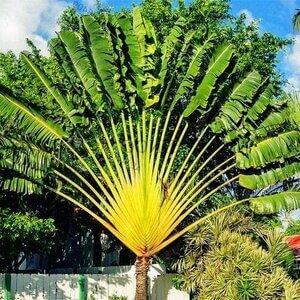 palma del viajero flora madagascar